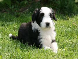 Foto 3 Bearded Collie Welpen