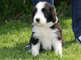 Foto 4 Bearded Collie Welpen