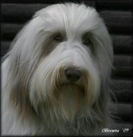 Foto 7 Bearded Collie - Welpen