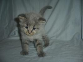 Foto 4 Beautiful Maine Coon kitten