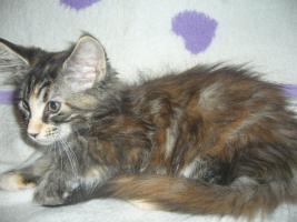 Foto 2 Beautiful Maine Coon kittens
