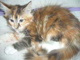 Foto 3 Beautiful Maine Coon kittens