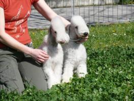Foto 4 Bedlington Terrier Welpe
