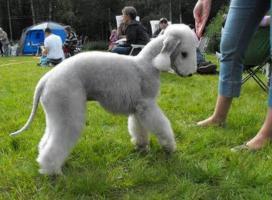 Foto 5 Bedlington Terrier Welpe