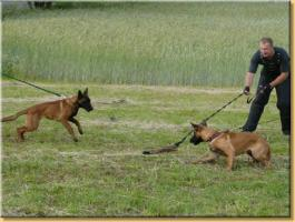 Foto 3 Belgian Shepherd Malinois