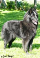 Belgischen Wolfshund- Welpen