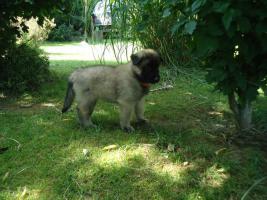 Foto 4 Belgischen Wolfshund- Welpen