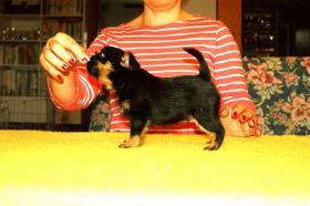 Foto 3 Belgischer Griffon Reinrassige Welpen mit Papiere