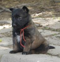 Belgischer Schäferhund Malinois und Tervueren