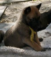 Foto 3 Belgischer Schäferhund Malinois und Tervueren
