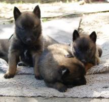 Foto 5 Belgischer Schäferhund Malinois und Tervueren