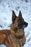 Foto 2 Belgischer Schäferhund Malinois Welpen FCI Stammbaum