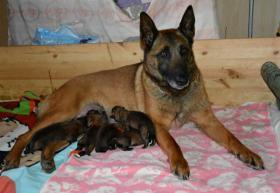 Foto 3 Belgischer Schäferhund Malinois Welpen FCI Stammbaum