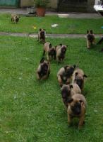 Foto 5 Belgischer Schäferhund Malinois Welpen mit Stammbaum