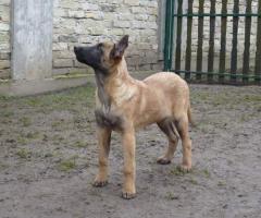 Belgischer Schaferhund Welpen Malinois Zu Verkaufen In Berlin