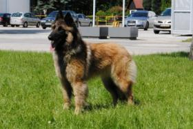 Foto 3 Belgischer Schäferhund - Tervueren, FCI Welpen