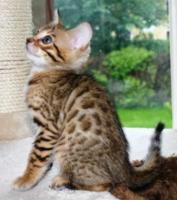 Bengal Kätzchen