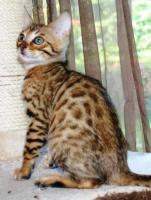 Foto 2 Bengal Kätzchen