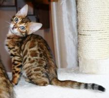 Foto 4 Bengal Kätzchen