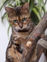 Foto 6 Bengal Katzen mit Stammbaum