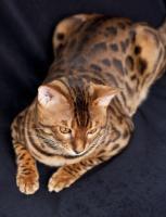 Foto 7 Bengal Katzen mit Stammbaum