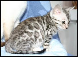 Foto 3 Bengal Kitten mit großen Rosetten