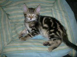 Foto 2 Bengal Kitten suchen neue Schmuser