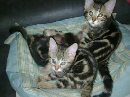 Foto 3 Bengal Kitten suchen neue Schmuser