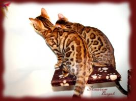 Foto 2 Bengal kittens TOP quality