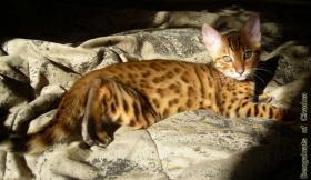 Bengalcats of Chadna – Bengal Kitten mit TICA-Papieren vom Hobbyzüchter