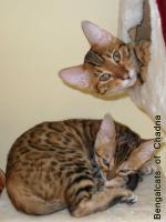 Foto 2 Bengalcats of Chadna – Bengal Kitten mit TICA-Papieren vom Hobbyzüchter