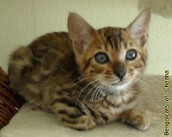 Foto 3 Bengalcats of Chadna – Bengal Kitten mit TICA-Papieren vom Hobbyzüchter