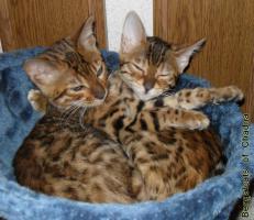 Foto 4 Bengalcats of Chadna – Bengal Kitten mit TICA-Papieren vom Hobbyzüchter
