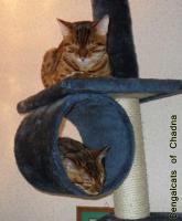 Foto 5 Bengalcats of Chadna – Bengal Kitten mit TICA-Papieren vom Hobbyzüchter