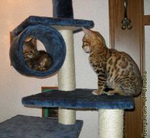 Foto 6 Bengalcats of Chadna – Bengal Kitten mit TICA-Papieren vom Hobbyzüchter