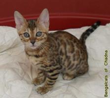 Foto 7 Bengalcats of Chadna – Bengal Kitten mit TICA-Papieren vom Hobbyzüchter