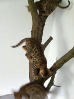Bengalen Minileoparden