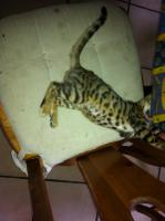 Foto 6 Bengalen Minileoparden