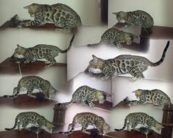 Foto 2 Bengalkätzchen mit papiere zum Verkaufen