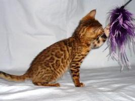 Bengalkatze Kater und Katze mit PP 250 Euro