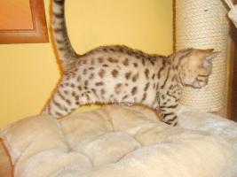 Foto 2 Bengalkatzen mit Papiere
