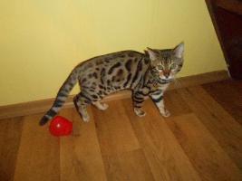 Foto 3 Bengalkatzen mit Papiere