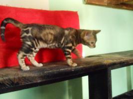 Foto 4 Bengalkatzen mit Papiere