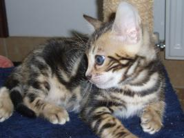 Foto 2 Bengalkatzen mit TICA Stammbaum