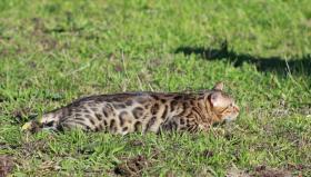 Foto 2 Bengalkatzen, Bengalkater, Bengalkatze