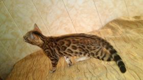 Bengalkatzen, Bengalkatze
