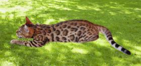 Foto 3 Bengalkatzen, Bengalkatze