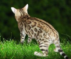 Foto 4 Bengalkatzen, Bengalkatze