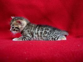 Foto 4 Bengalkatzen - Nachwuchs bei Junglespots