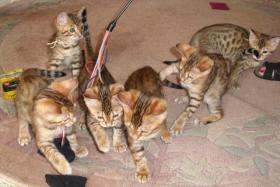 Foto 4 Bengalkatzenbabys